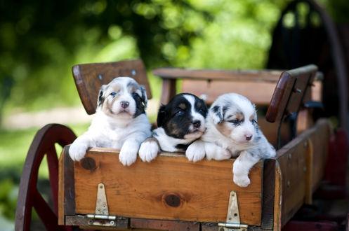 Обои Три упитанных щенка в конной повозке