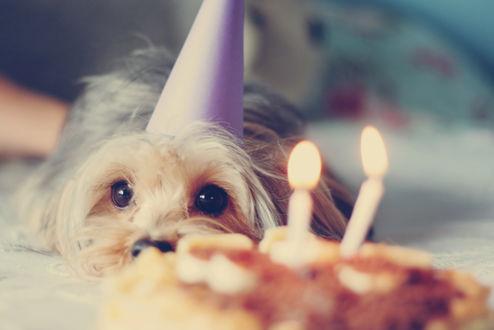 Обои Йоркширский терьер в праздничном колпаке лежит возле именинного торта с двумя свечками