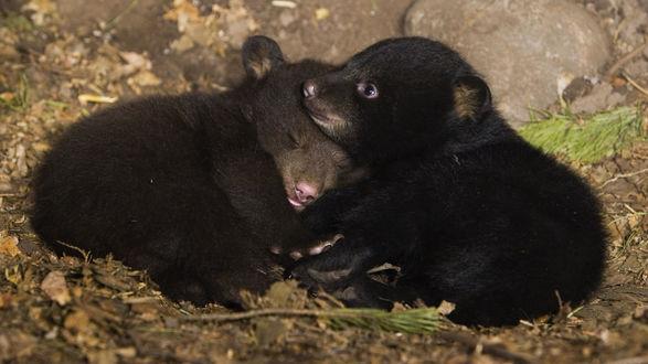 Обои Гималайские медвежата