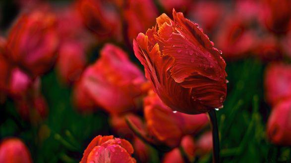 Обои Красные тюльпаны