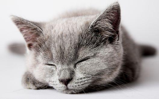 Обои Сладкий сон серого котика