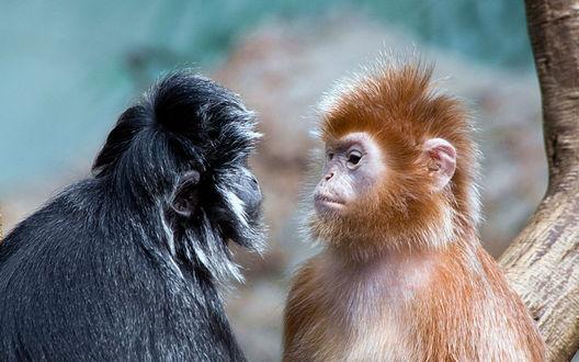 Обои Рыжая и черная обезьянки пристально смотрят друг другу в глаза