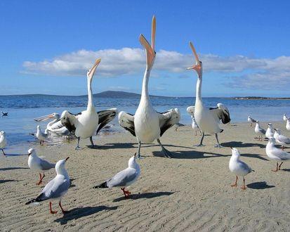 Обои Пеликаны и чайки ждут кормежки, все с надеждой смотрят вверх