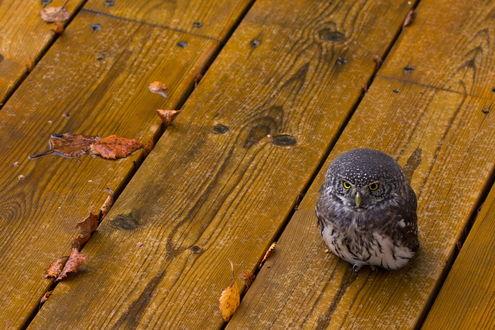 Обои Маленькая сова сидит на деревянном полу