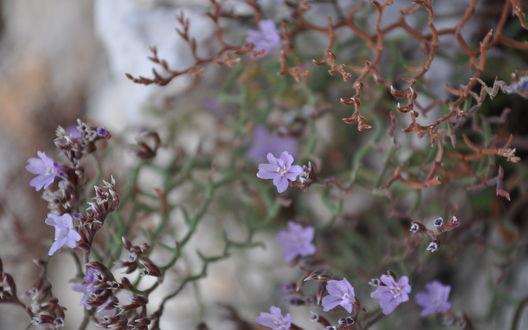 Обои Сухое растение с сиреневыми цветами, растущее на камнях
