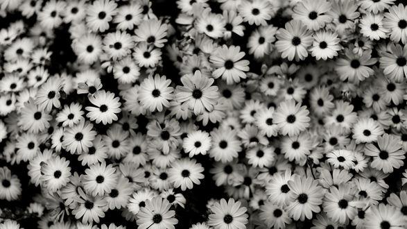 Обои Множество мелких цветов, природа в черно-белых тонах