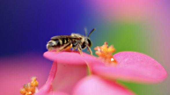 Обои Пчела запасается нектаром, сидя на цветке