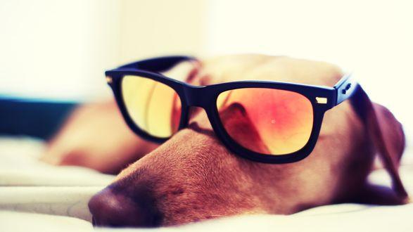 Обои Такса в солнцезащитных очках с рыжими стеклами