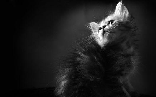 Обои Серый котенок, смотрящий вверх