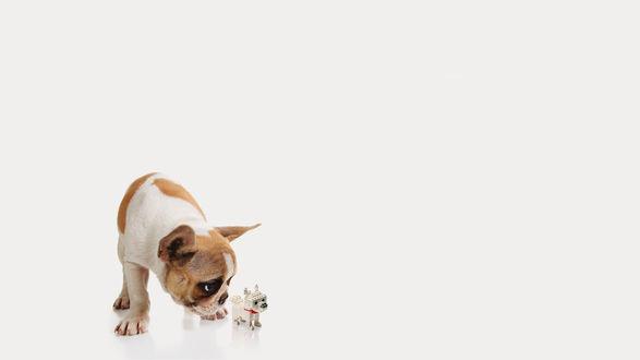 Обои Щенок французского бульдога принюхивается к игрушечной собаке