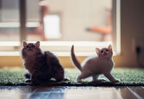 Обои Кошка Daisy / Дейзи  и котенок Hannah / Ханна смотрят вверх, фотограф Ben Torode