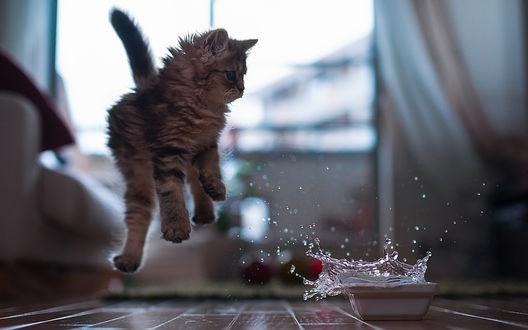 Обои Кошечка Daisy / Дейзи испугалась всплеска воды в миске и подпрыгнула вверх, фотограф Ben Torode