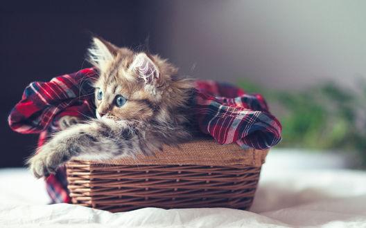 Обои Кошечка Daisy / Дейзи лежит в плетенной корзинке, укрытая клетчатым одеяльцем, фотограф Ben Torode