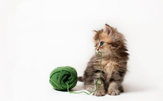 Обои Котёнок по имени Daisy / Дейзи с зелёным клубком, фотограф Ben Torode