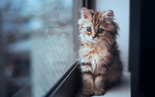 Обои Котёнок по имени Daisy / Дейзи сидит у окна на подоконнике, фотограф Ben Torode
