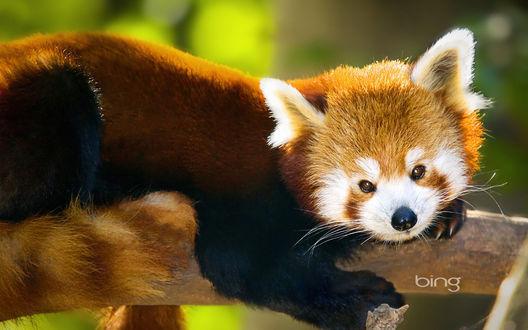 Обои Малая панда / Красная панда / Ailurus fulgens / Огненная лиса / Firefox лежит на ветке (bing)