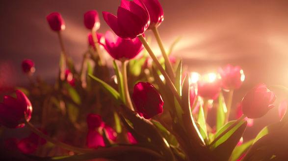Обои Бутоны фиолетовых тюльпанов