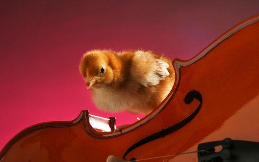 Обои Цыпленок  на скрипке
