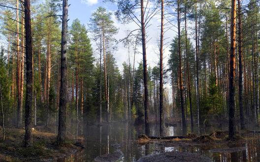 Обои Лесное болото в тумане