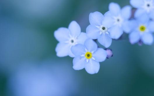 Обои Нежность голубых незабудок