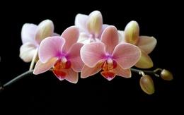 Обои розовая орхидея на черном фоне