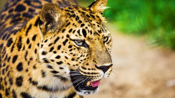 Обои Леопард с приоткрытой пастью