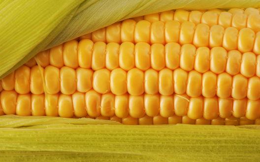 Обои Початок кукурузы