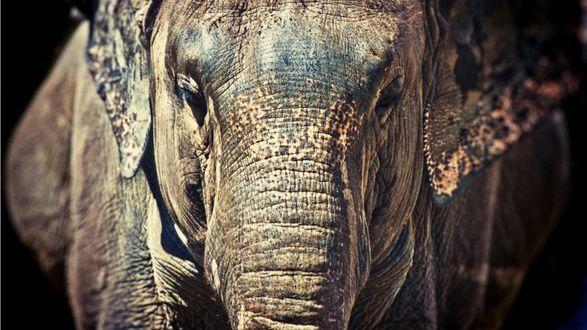 Обои Слон