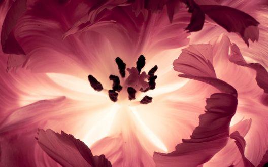 Обои Нежная серединка розового цветка