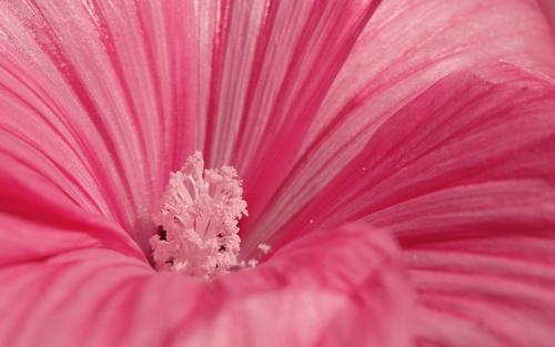 Обои сердцевина яркого розового