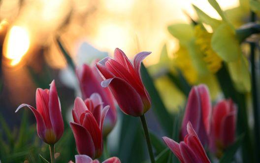 Обои Цветы в саду, тюльпаны на фоне нарциссов