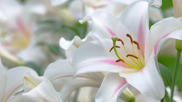 Обои Бело-розовые лилии