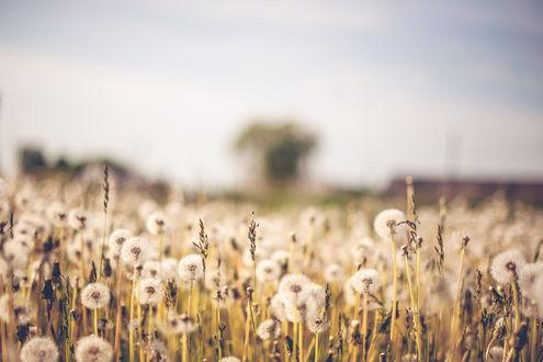 Обои Поле с травой и белыми одуванчиками под серым небом
