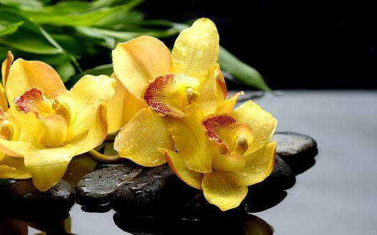 Обои Желтые орхидеи в каплях воды лежат на камнях