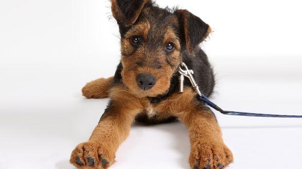 Обои Эрдельтерьер / Airedale Terrier с милой мордашкой
