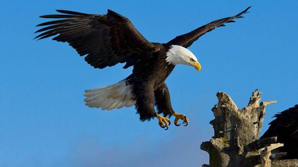 Обои Орел с острыми когтями и клювом приземляется на корягу