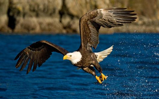 Обои Орел летит с добычей в лапах, широко расправив крылья
