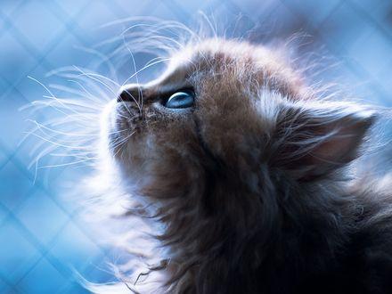 Обои Пушистый голубоглазый котенок смотрит вверх на фоне сетки рабицы