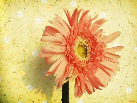 Обои Цветок герберы на фоне желтых обоев