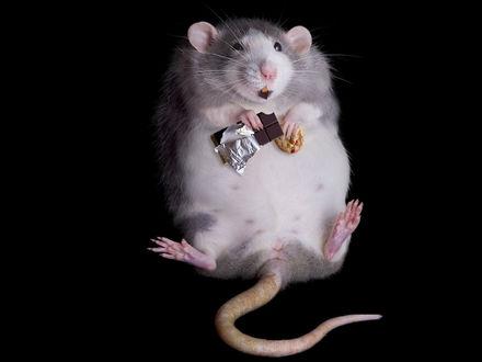 Обои Крыса лежа на спине кушает печенье и шоколад