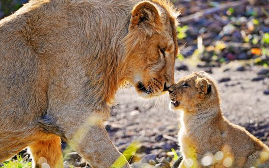 Обои Молодой лев и львенок