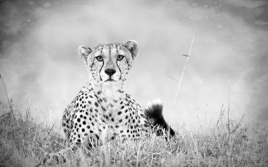 Обои Красивый гепард поднял морду лежа в траве