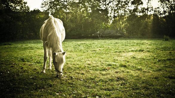 Обои Белая лошадь пасется на небольшом лугу