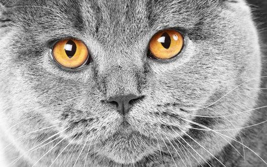 Обои Британский кот с оранжевыми глазами