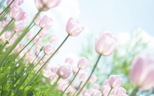 Обои Поле розовых тюльпанов