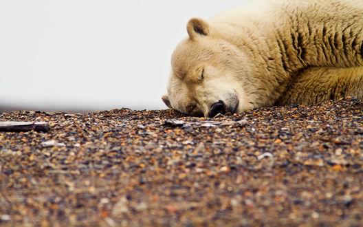 Обои Белый, медведь спит на земле