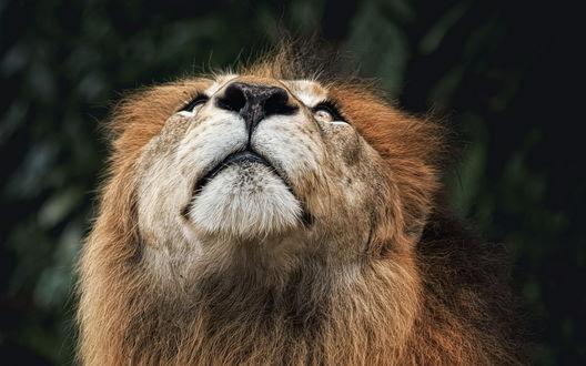 Обои Лев смотрит вверх