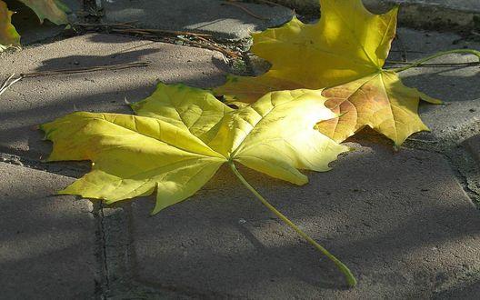 Обои Два осенних листа желтого цвета лежат на тротуаре, покрытом серой плиткой