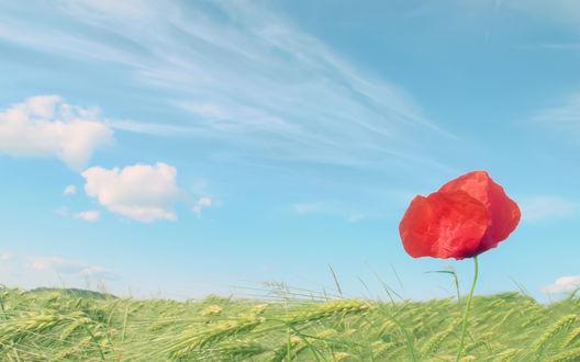 Обои Одинокий красный мак растет в пшеничном поле