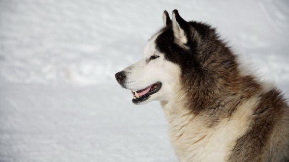 Обои Хаски на фоне белого снега